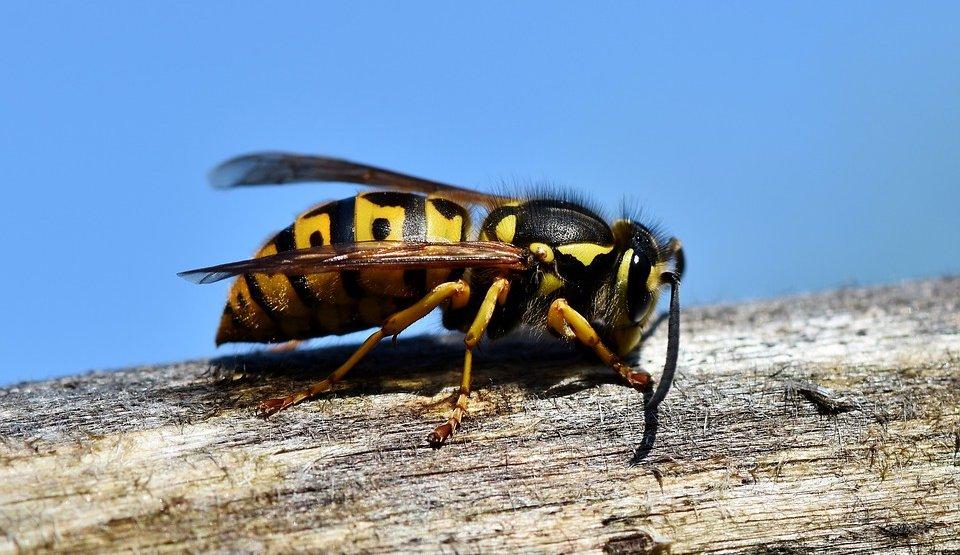 vespa-calabrone-dr-michel-mallard-medicinanaturaleolistica